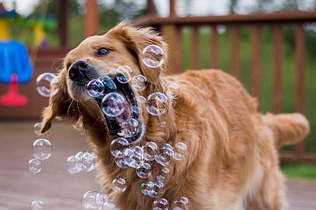 adult golden retriever dog butting soap bubbles