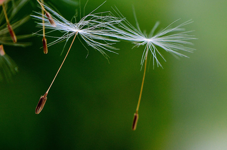 two dandelion petals