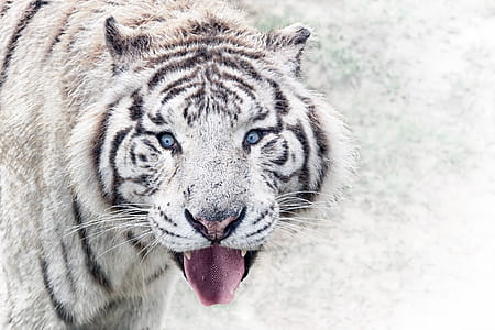 white and black tiger