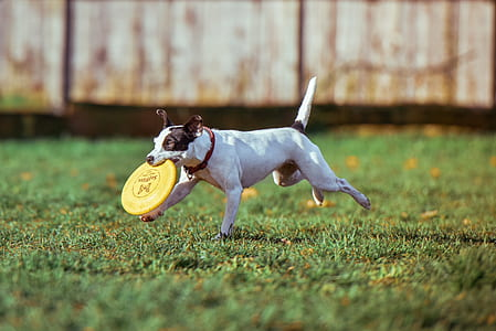short-coated white and black dog with yellow frisbee disc on mouth