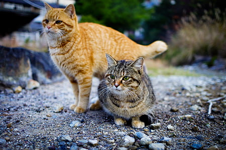 two orange and brown tabby cats