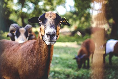 Goat Portrait?