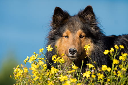 black and tan shetland sheepdog