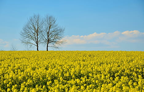 yellow rapeseed flower field at daytime