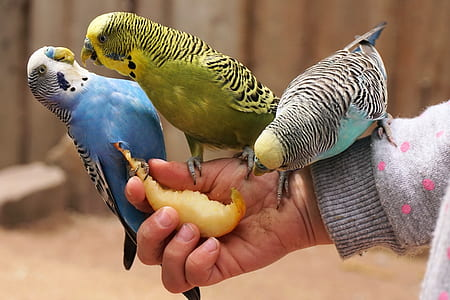 budgerigars, bird, animal, bill, food, animal world