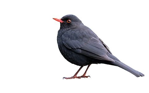 black bird with white background