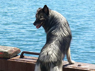 Gray and White Long Coated Dog