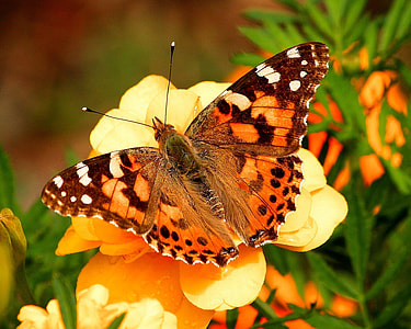 closeup photography of painted lady butterfly perching on yellow flower during daytime