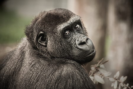 selective photo of Gorilla