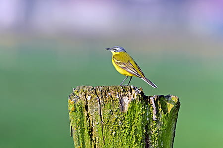 yellow wagtail, songbirds, meadow birds