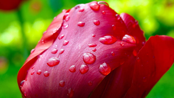 red tulip flower with water dew