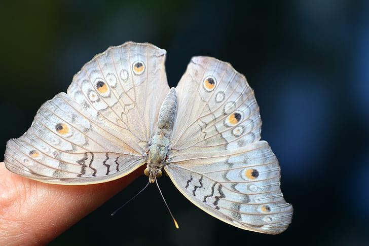 white peacock butterfly on human finger tip