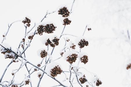 Berries in snow captured in Siberia in Russia