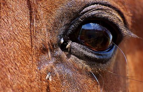 horse flies on horse eye