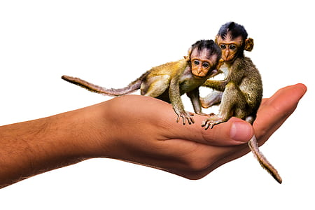 two monkeys on person's palm edited photo