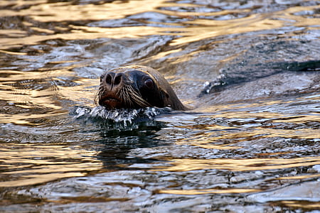 seal swimming on water closeup photography