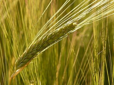 green wheat close-up photo
