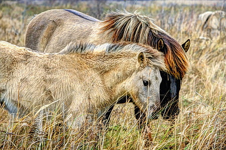 photo of two brown horses surrounded by brown grass