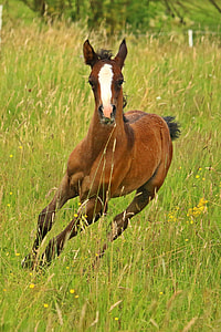 galloping brown pony on grass field