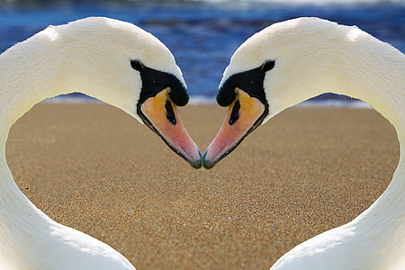 two white geese forming heart wallpaper