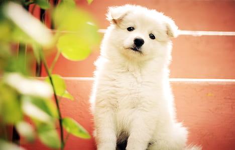 white Indian spitz puppy