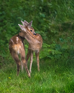 two deer on green grass field
