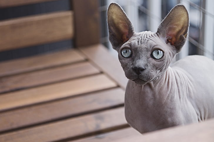 sphynx cat on brown wooden surface