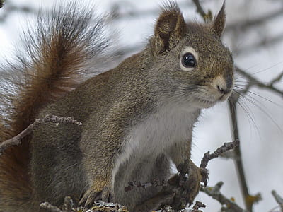 gray squirrel on brown branches