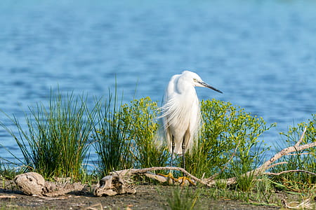 white bird in front of grasses