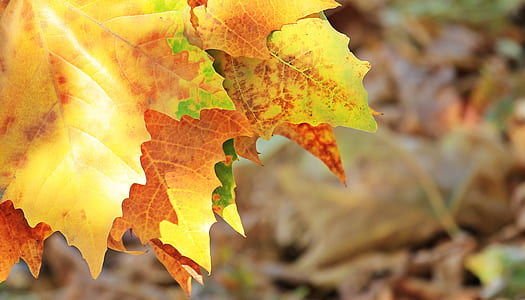 shallow focus photography of brown maple leaf