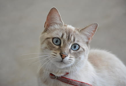 closeup photo of beige and white cat