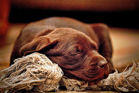 brown short coated puppy