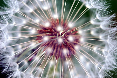 white and red dandelion