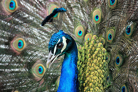 close up photography of female peacock