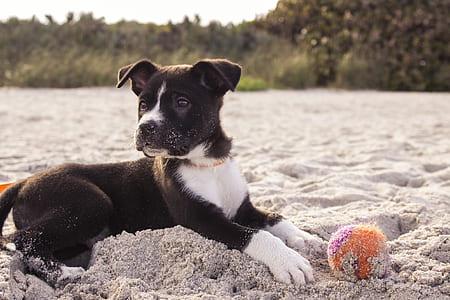 black and white American pit bull terrier puppy on sandy area with orange and purple ball