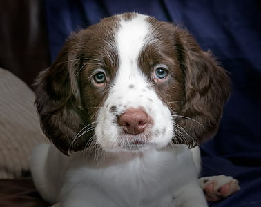 close-up photography of long-coated brown and white puppy