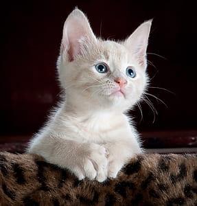 shirt-coated white kitten