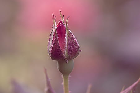 selective focus photography of pink flower bud