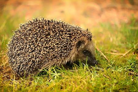 brown hedgehog on grass macro photography