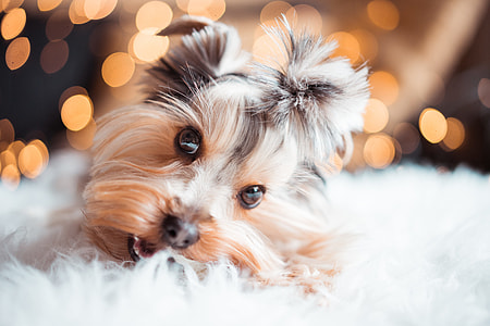 Cute Yorkshire Terrier Eating Mini Dog Snacks on Christmas