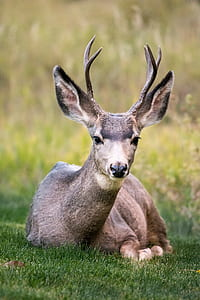 gray reindeer sitting on green leafed grass