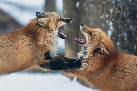 two brown foxes