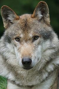 closeup photography of vlcak dog