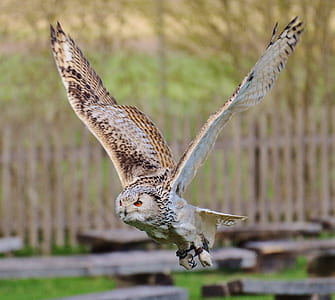 wildlife photography of flying owl