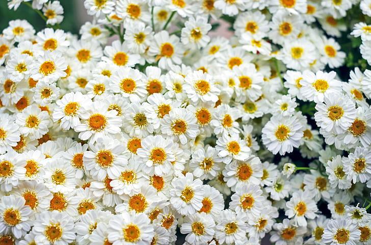 photo of white daisies