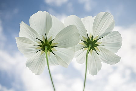low angle view of two white petal flowers