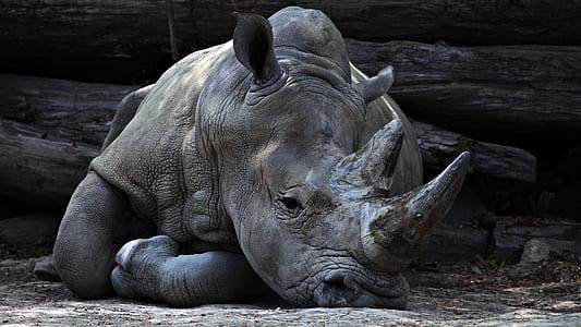 gray rhinoceros lying on the ground