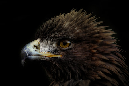 close up photography of brown and white eagle