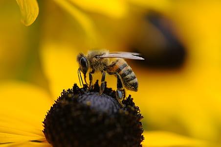 honeybee above yellow flower closeup photography