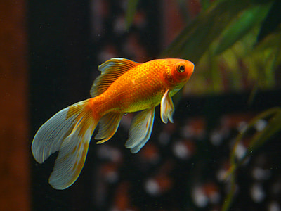 orange and gray fish